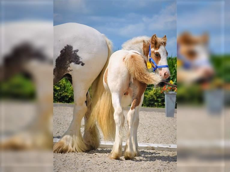 Gypsy Horse Stallion 1 year 14,3 hh Tobiano-all-colors