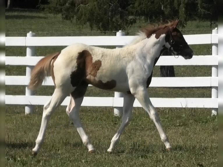 Paint Horse Stute 2 Jahre Tobiano-alle-Farben