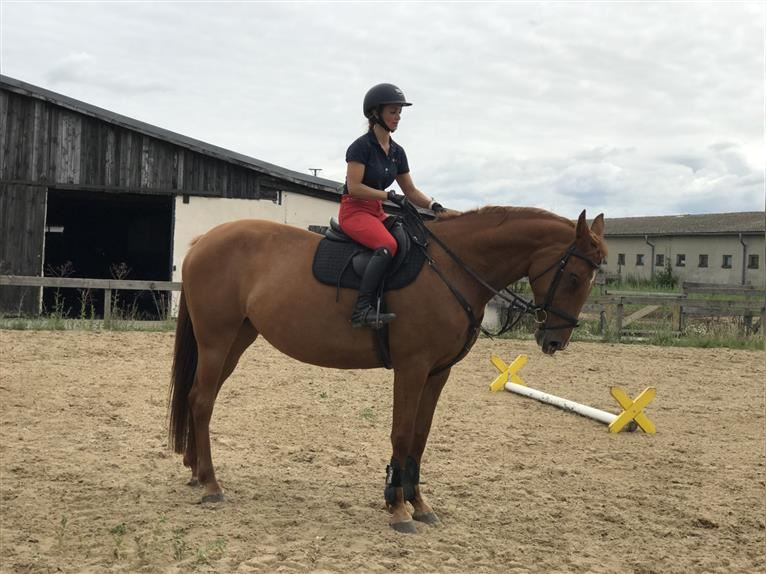 German Sport Horse Mare 8 years 17 hh Chestnut-Red