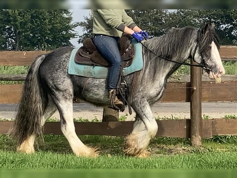 Gypsy Horse Gelding 8 years 14 hh Overo-all-colors