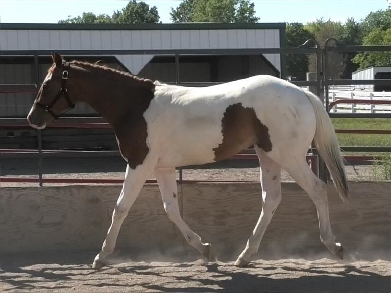 Paint Horse Hengst 2 Jahre Tobiano-alle-Farben