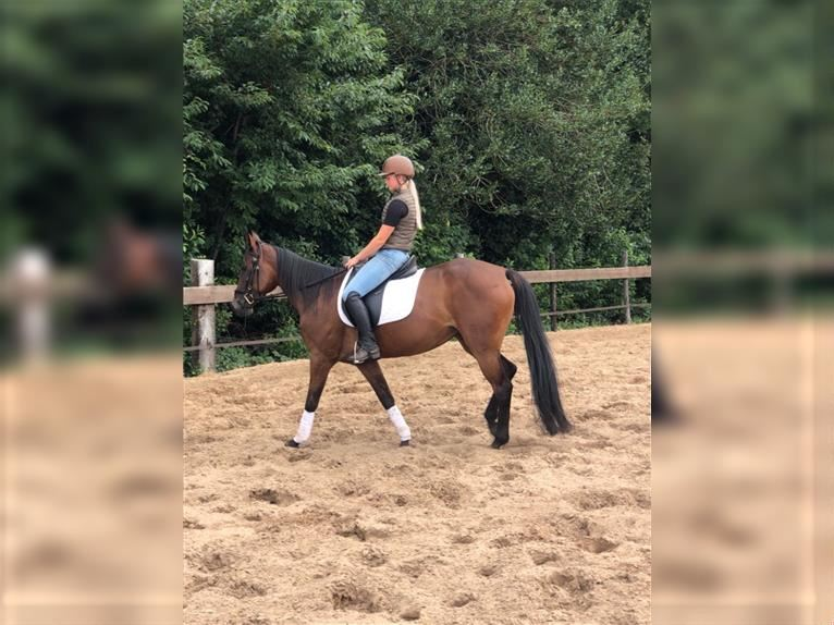 German Trotter Mare 7 years 15,1 hh Brown