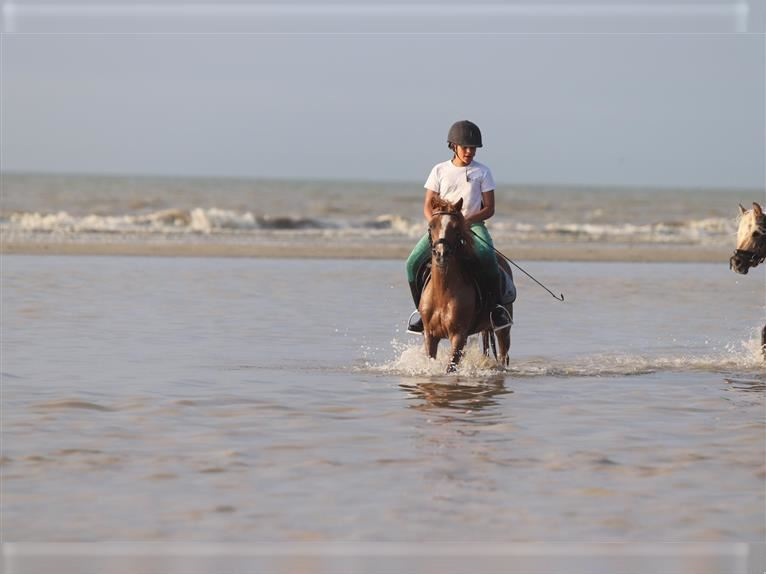 Andalusian Mare 16 years 11,2 hh Sorrel