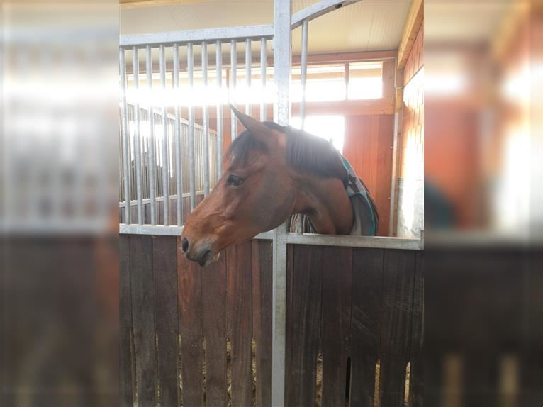 KWPN Mare 9 years 16,1 hh Brown