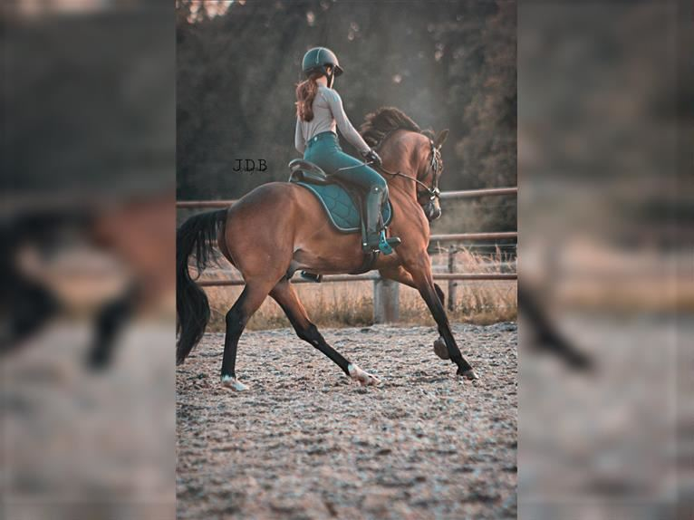 Welsh B Mare 7 years 14,2 hh Brown