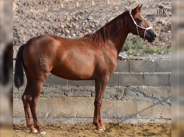 P.R.E. Mare 2 years 14,2 hh Chestnut-Red