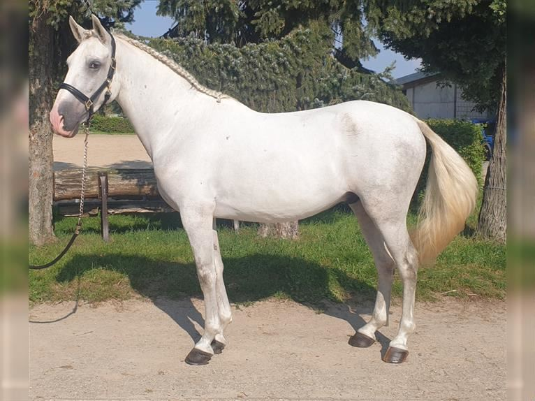Andalusian Gelding 5 years 15,2 hh Gray