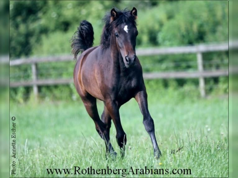 Straight Egyptian Mare Foal (01/2021) 15,1 hh Black