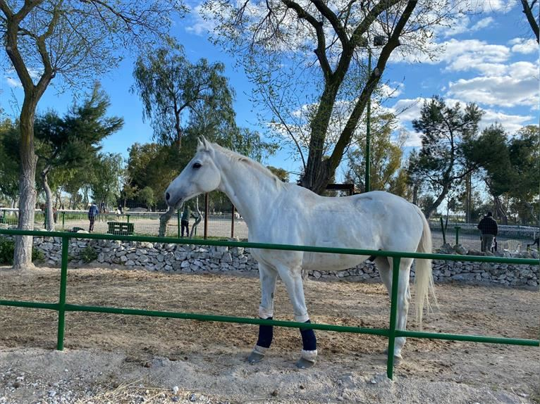 Andalusian Gelding 14 years 17 hh Gray