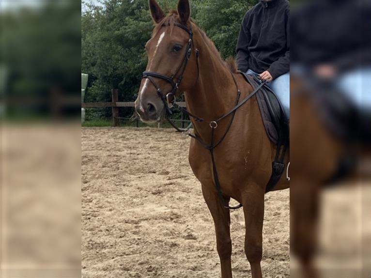 French Trotter Gelding 11 years 16,1 hh Chestnut-Red
