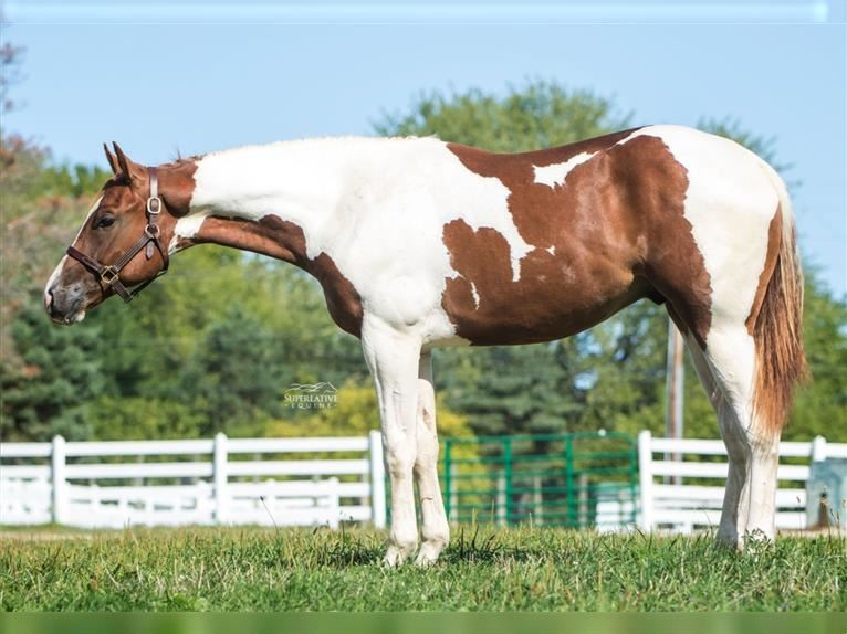 Paint Horse Wallach 2 Jahre Tobiano-alle-Farben