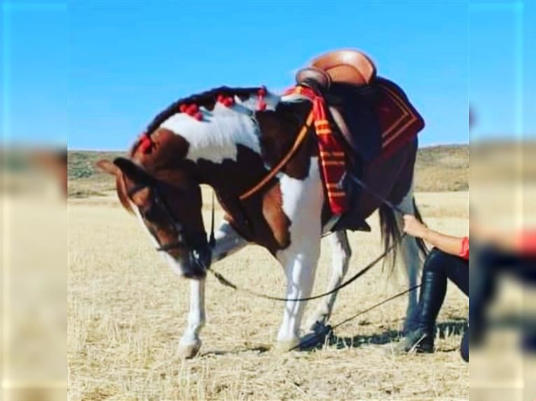 Andalusian Mix Gelding 12 years 15,2 hh Pinto