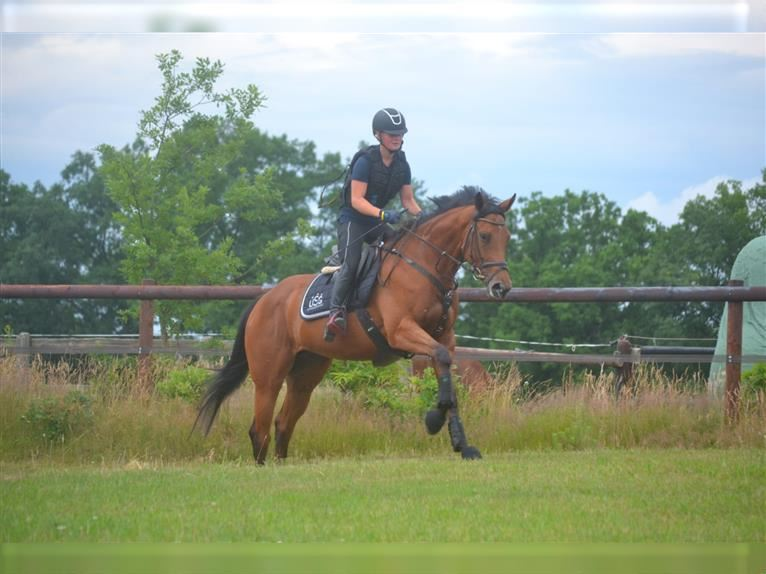 English Thoroughbred Mare 4 years 16,1 hh Brown