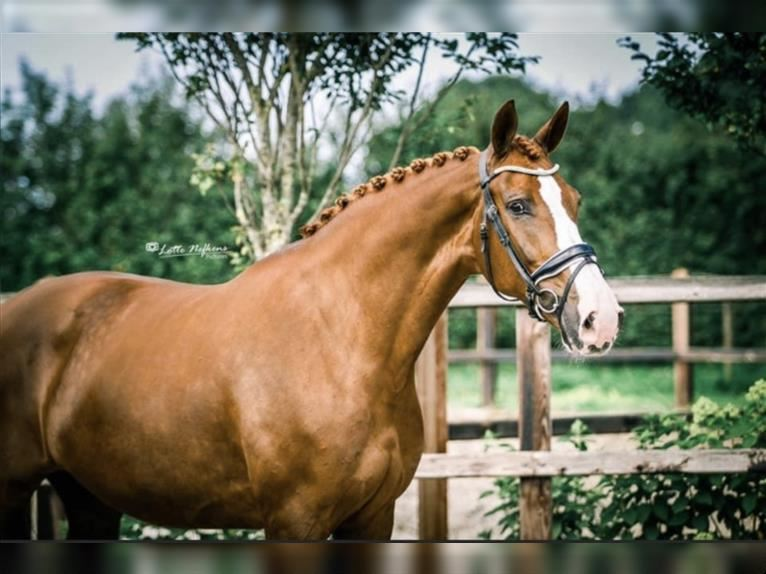 KWPN Mare 6 years 16,2 hh Chestnut-Red