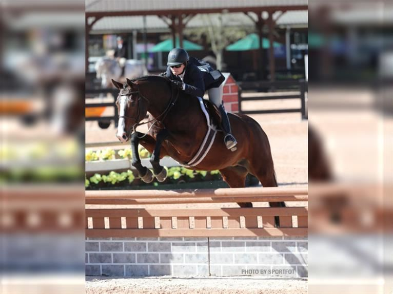 Other Warmbloods Mare 12 years 16,2 hh