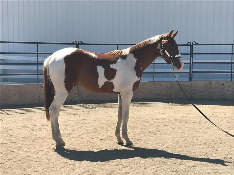 Paint Horse Hengst 3 Jahre Tobiano-alle-Farben