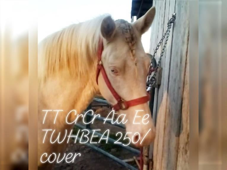 Tennessee Walking Horse Hengst Tobiano-alle-Farben