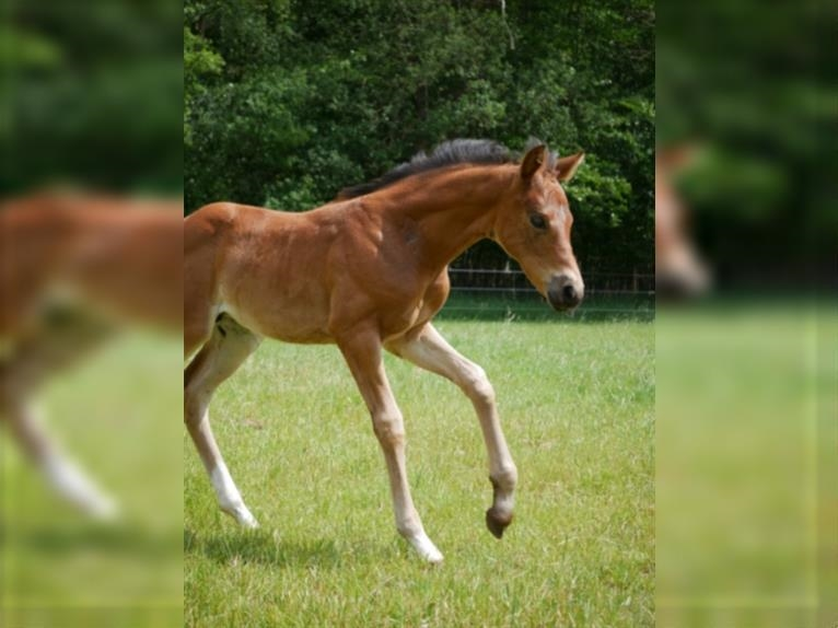 Oldenburg Mare Foal (05/2021) 16,2 hh Brown