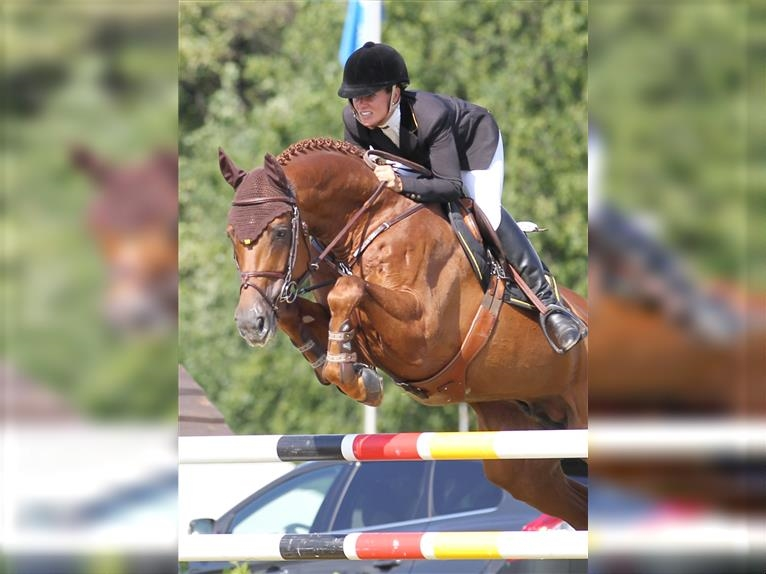 PERIGUEUX Hanoverian Stallion Chestnut-Red