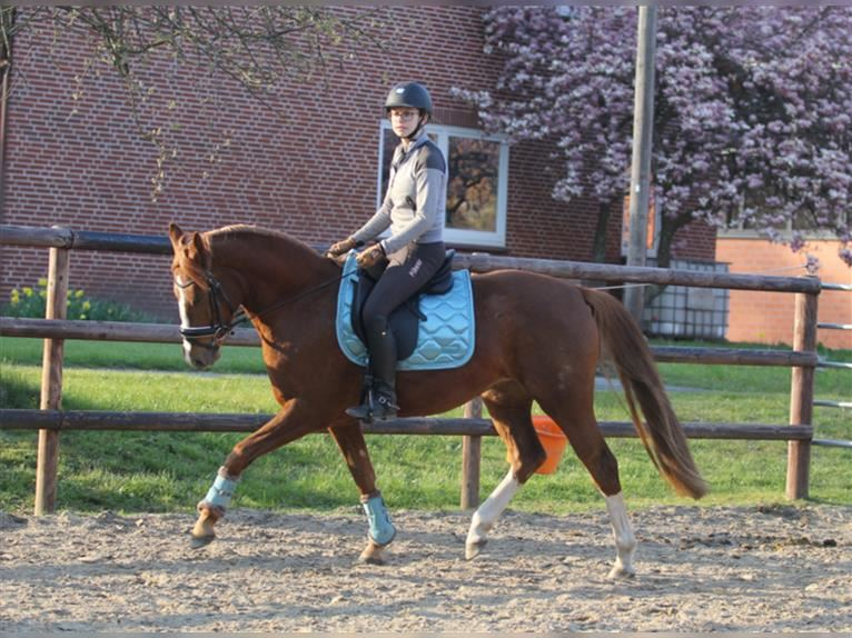 German Riding Pony Mare 3 years 14,2 hh Chestnut-Red