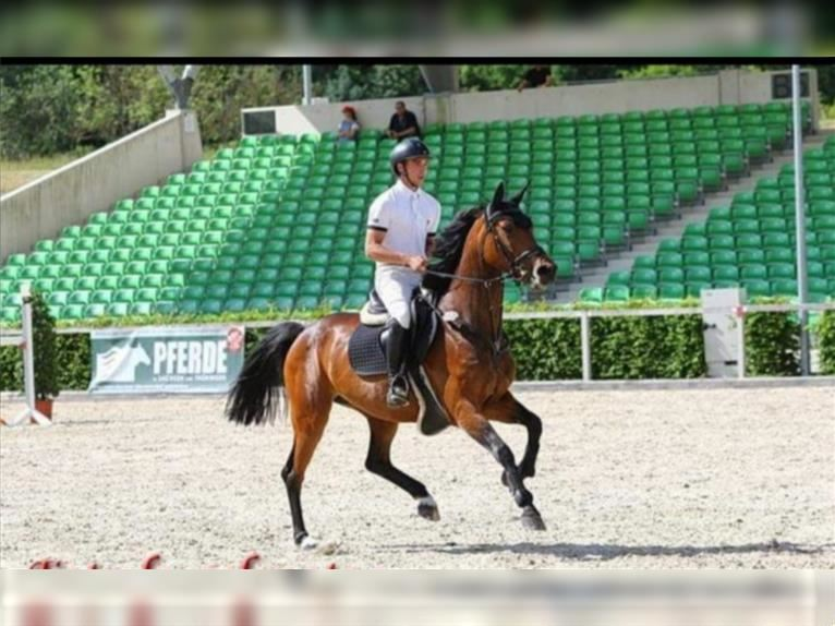 German Sport Horse Mare 8 years 15,2 hh Brown