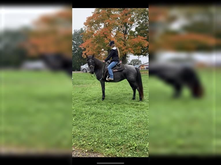 Kentucky Mountain Saddle Horse Mare 13 years 15 hh Roan-Blue