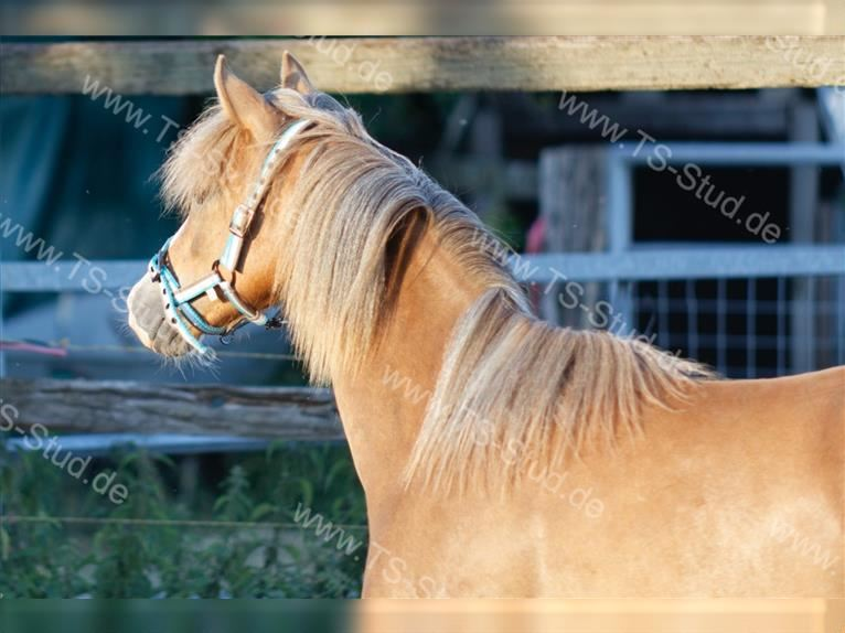 Welsh B Mare 2 years 13 hh Chestnut-Red