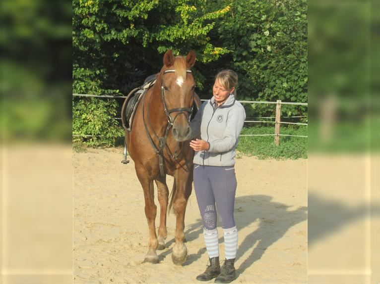 More ponies/small horses Mare 12 years 15,1 hh Chestnut-Red