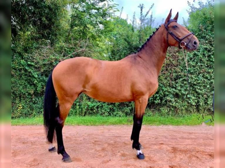 Selle Français Mare 4 years 16 hh Brown