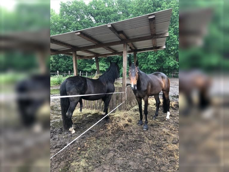 Andalusian Gelding 5 years 15,2 hh Black