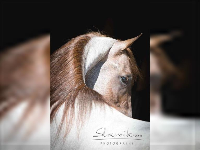GENERATION NEXT Tennessee Walking Horse Hengst Roan-Red