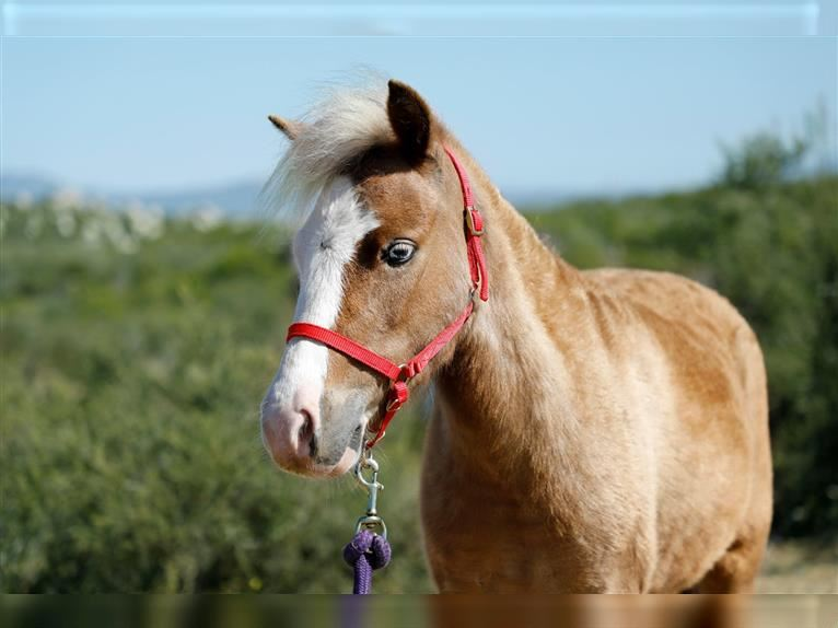 Other Breeds Mare 5 years Dun