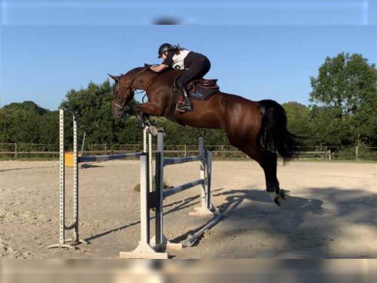 Selle Français Mare 9 years 16,2 hh Brown