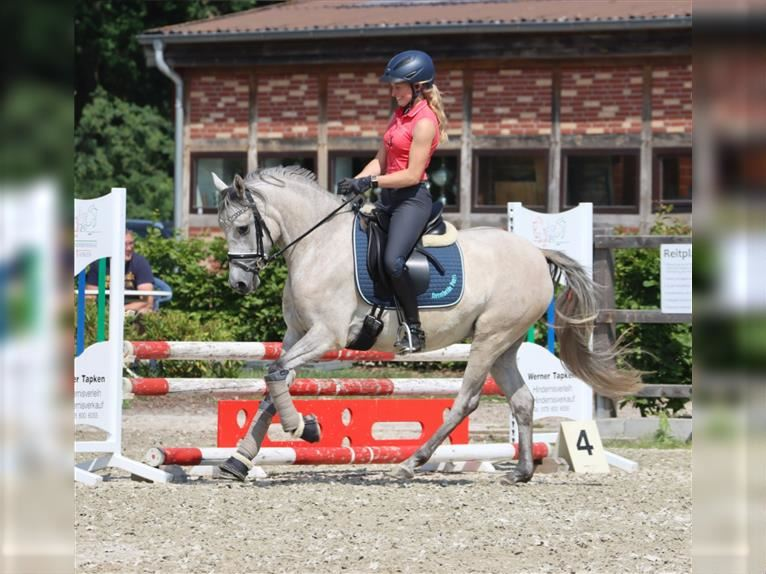 German Riding Pony Mare 4 years 14,1 hh