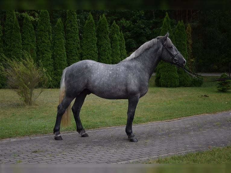 Other Heavy Horses Mix Gelding 2 years 15,1 hh Gray