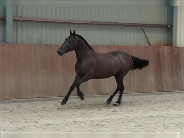 New Forest Pony Mix Mare 3 years 13 hh Smoky-Black