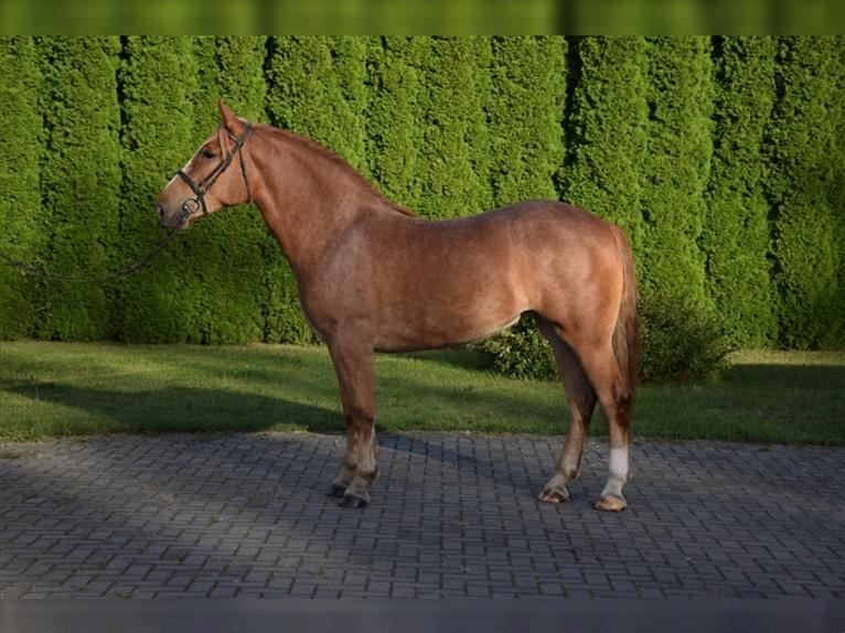 Other Warmbloods Mare 3 years 15,1 hh Chestnut-Red