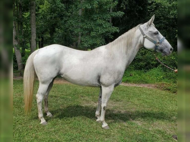 American Quarter Horse Mare 15 years 15 hh Gray