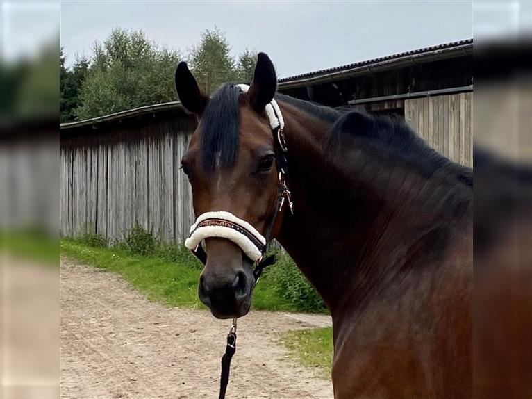 Hanoverian Mare 7 years 16 hh Brown