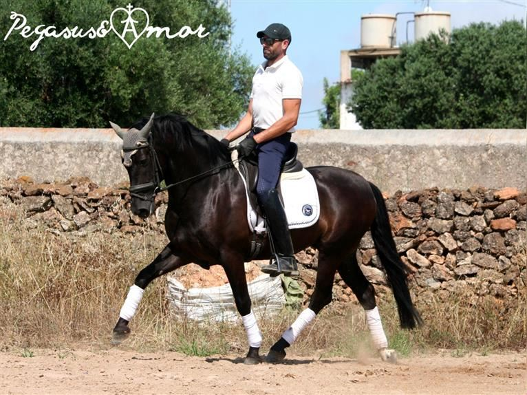 Andalusian Gelding 5 years 15,1 hh Black