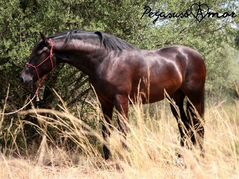 Andalusier Wallach 5 Jahre 156 cm Rappe