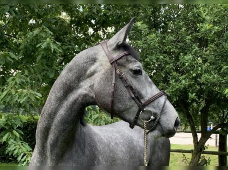 Anglo European Studbook Mare 4 years 16 hh Gray