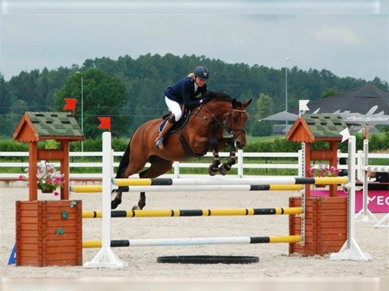 Other Warmbloods Mare 13 years 16,1 hh Bay