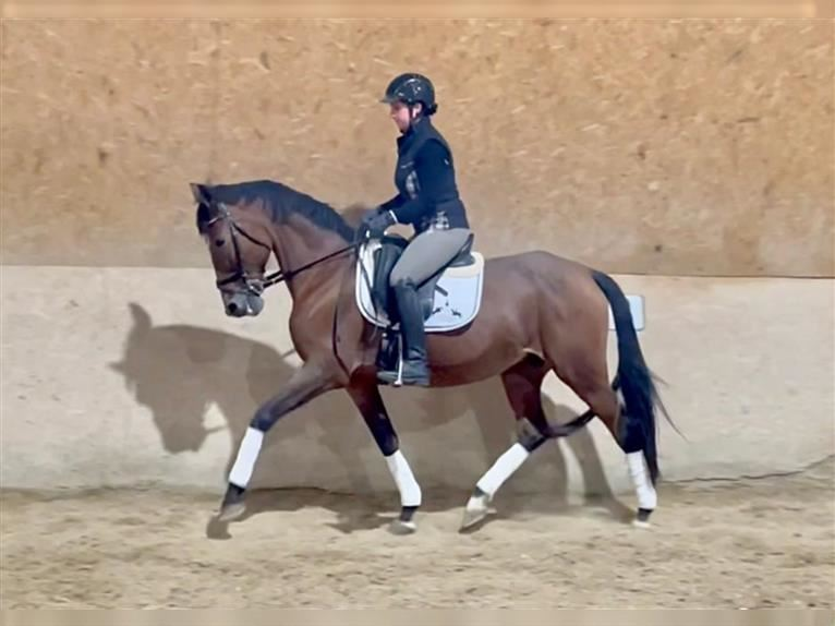 Andalusian Mare 15 years 15,2 hh Brown