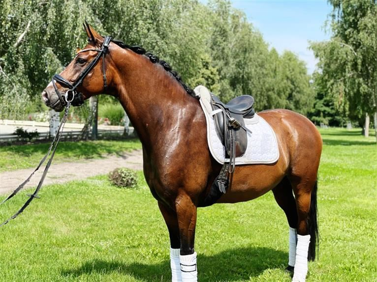 German Sport Horse Mare 5 years 15,2 hh Brown