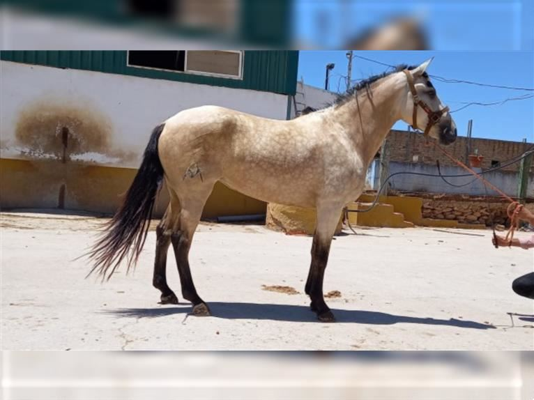 Andalusian Mare 4 years 16 hh Dun