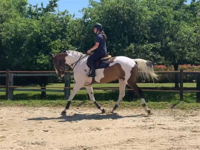 Anglo European Studbook Gelding 7 years 16,2 hh Pinto