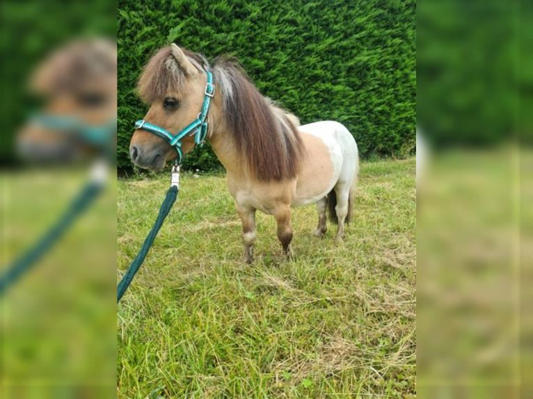 More ponies/small horses Stallion 5 years 6,3 hh