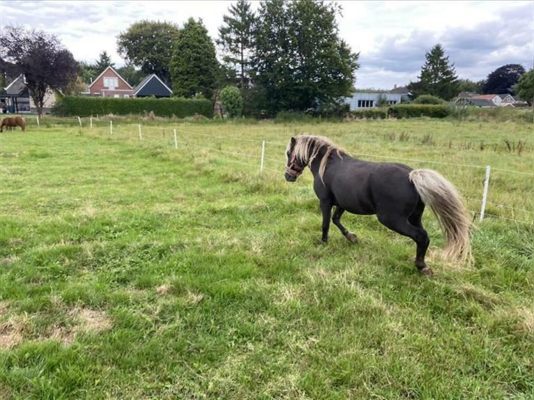 Curly Horse Hengst