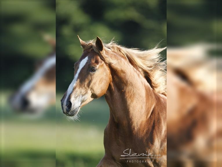 DOUBLE SPRINGS LABEL Tennessee walking horse Stallion Chestnut-Red